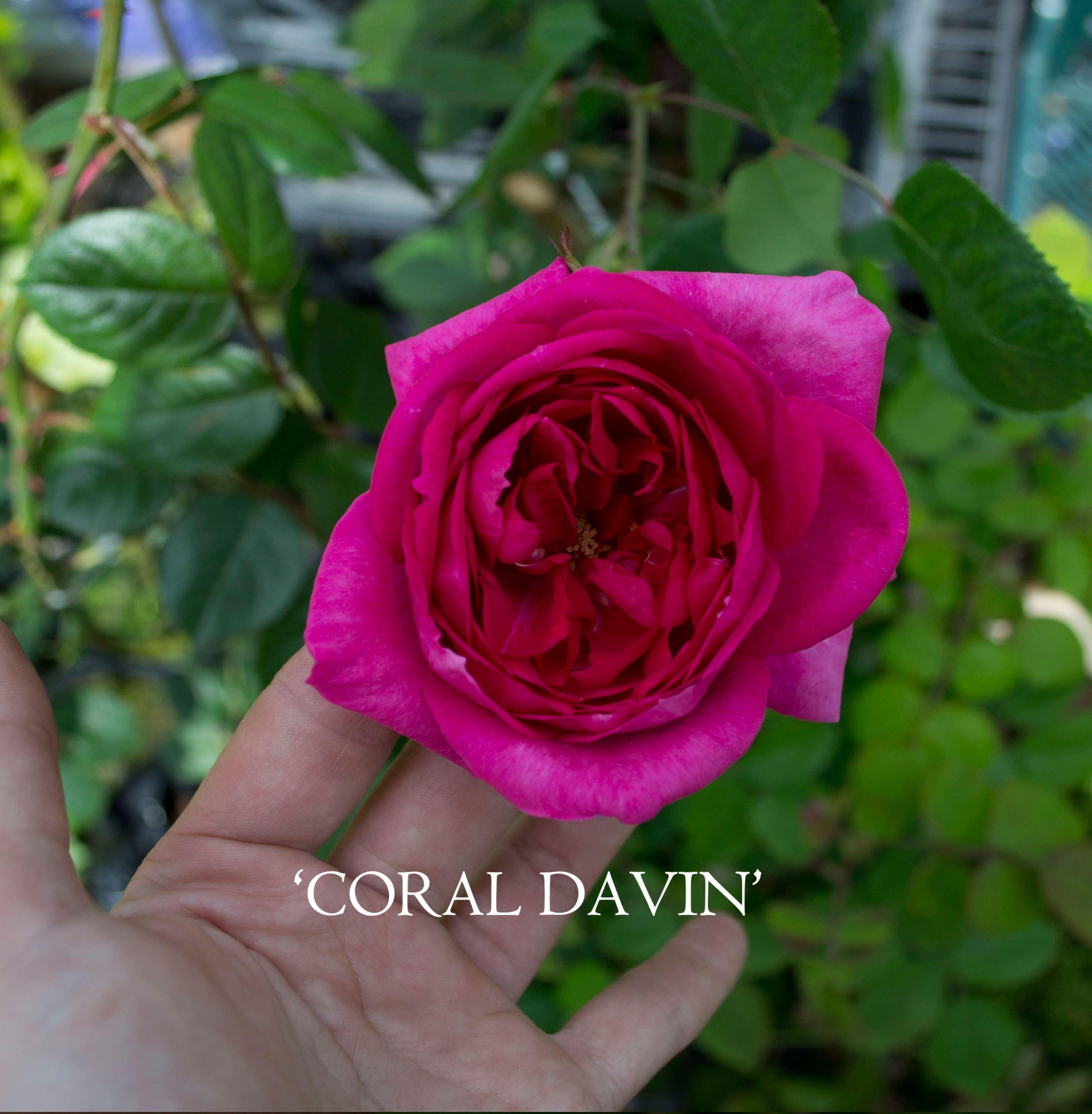 roze coral davin (5)-min