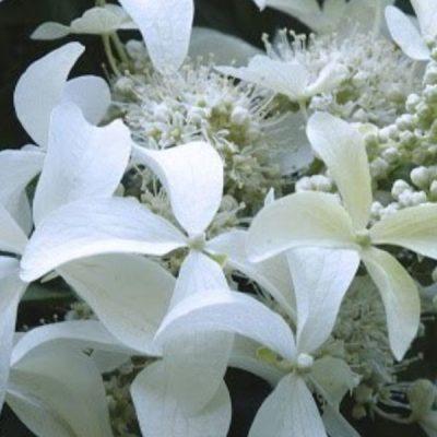 Šluotelinė hortenzija (Hydrangea paniculata) 'Great Star'