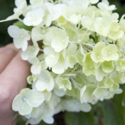 Šluotelinė hortenzija (Hydrangea paniculata) 'Limelight'