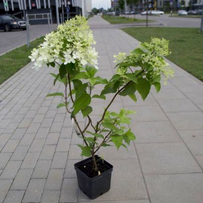 Šluotelinė hortenzija (Hydrangea paniculata) 'Phantom'