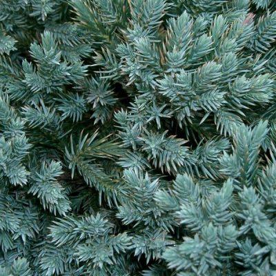 Žvynuotasis kadagys (Juniperus squamata) 'Blue Star'