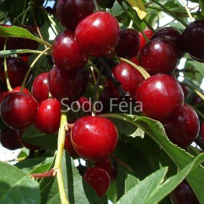 Vyšnia 'Žagarvyšnė' – Savidulkė veislė