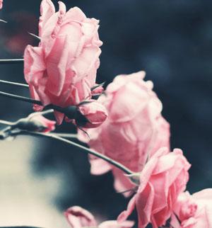 Kaip uždengti rožes?