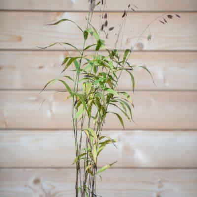 Avižažolė šiaurinė (Chasmanthium latifolium)