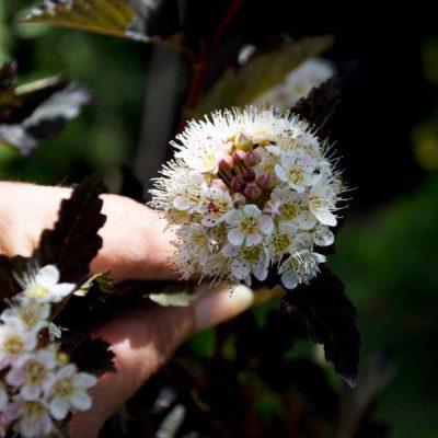 Paprastasis pūslenis (Physocarpus opulifolius) 'Diabolo'