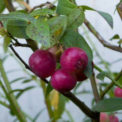 Aukštoji šilauogė (Vaccinium corymbosum) 'Pink Lemonade'