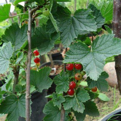 Raudonasis serbentas (Ribes rubrum) 'Jonkheer van Tets'
