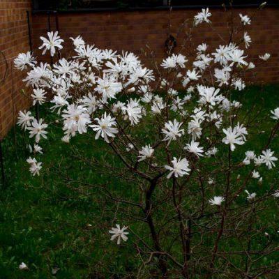 Žvaigždinė magnolija (Magnolia Stellata)