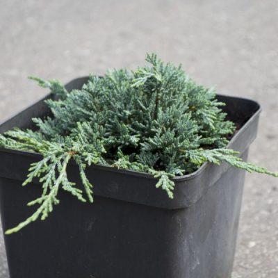 Gulsčiasis kadagys (Juniperus procumbens) 'Ice Blue'