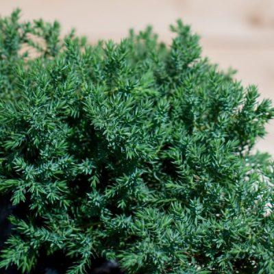 Gulsčiasis kadagys (Juniperus procumbens) 'Nana'