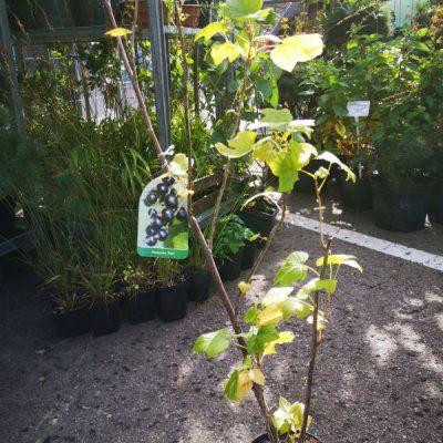 Juodasis serbentas (Ribes nigrum) 'Tisel'