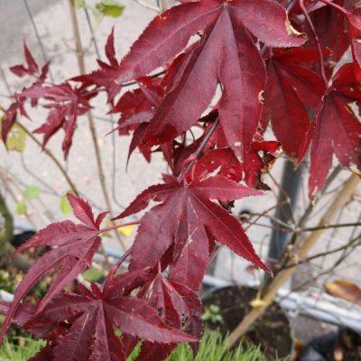 Plaštakinis klevas (Acer palmatum) 'Atropurpureum'