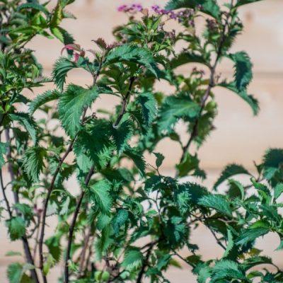 Japoninė lanksva (Spiraea japonica) 'Crispa'