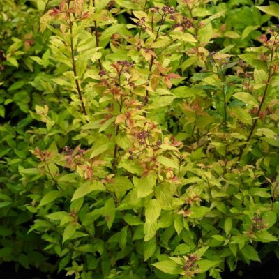 Japoninė lanksva (Spiraea japonica) 'Goldflame'