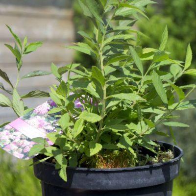 Japoninė lanksva (Spiraea japonica) 'Genpei'