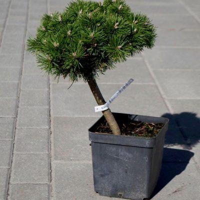 Kalninė pušis (Pinus mugo) 'Benjamin'