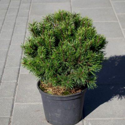 Kalninė pušis (Pinus mugo) 'Hnizdo'