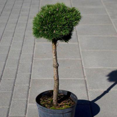 Kalninė pušis (Pinus mugo) 'Oaza'