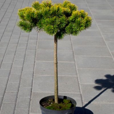Kalninė pušis (Pinus mugo) 'Starkl Thomas'