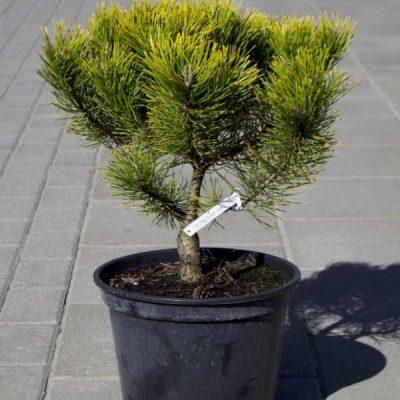 Kalninė pušis (Pinus mugo) 'Winter Gold'