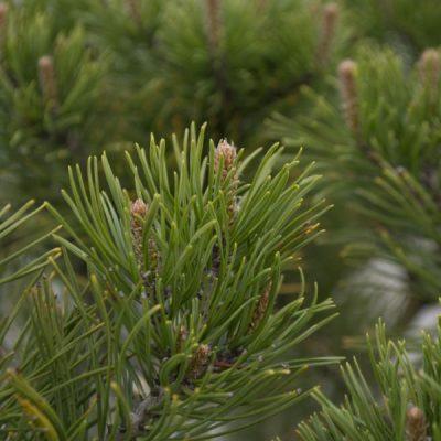 Kalninė pušis (Pinus mugo var. mughus)