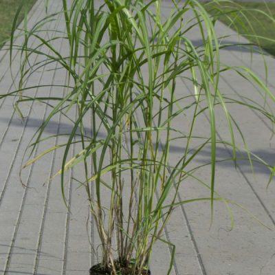 Kininis miskantas (Miscanthus sinensis) 'Malepartus'