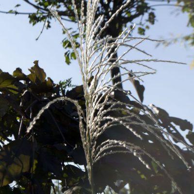 Kininis miskantas (Miscanthus sinensis) 'Roland'
