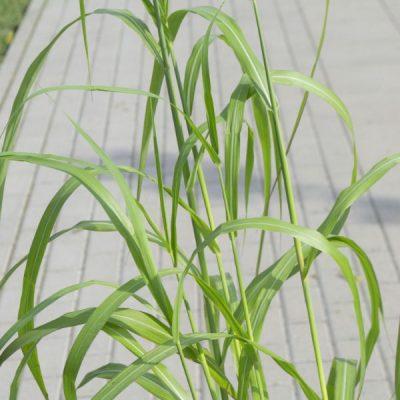 Kininis miskantas (Miscanthus sinensis) 'Rosi'