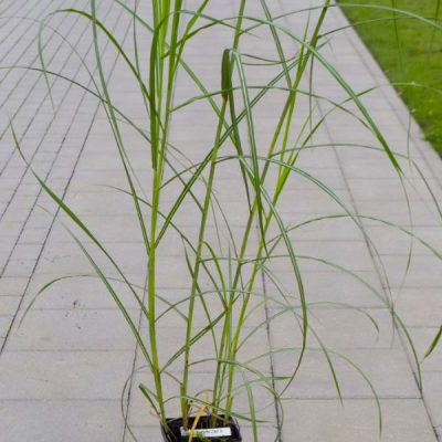 Kininis miskantas (Miscanthus sinensis) 'Rotsilber'