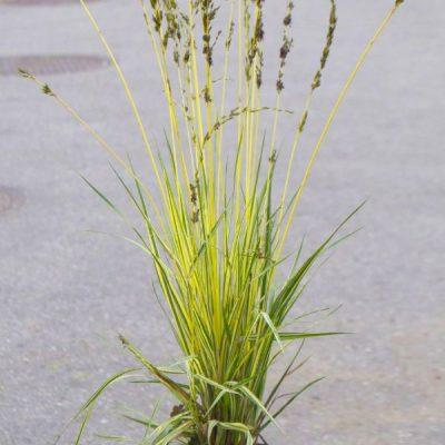 Nendrinė melvenė (Molinia arundinacea) 'Variegata'