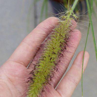 Pašiaušėlinė soruolė (Pennisetum alopecuroides)