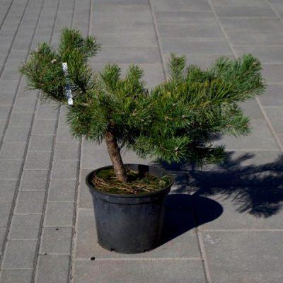 Paprastoji pušis (Pinus sylvestris) 'Repens'