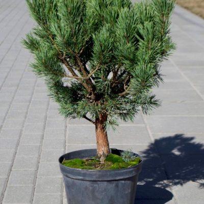 Paprastoji pušis (Pinus sylvestris) 'Watereri'