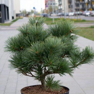 Pušis veimutinė (Pinus strobus) 'Secrest'