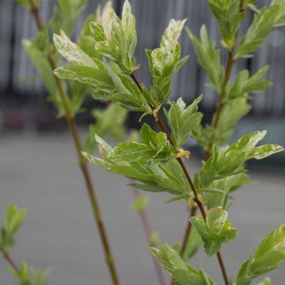 Sveikalapis gluosnis (Salix integra) 'Hakuro Nishiki'