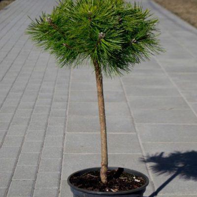 Pušis tankiažiedė (Pinus densiflora) 'Jane Kluis'