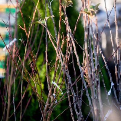 Obelis 'Alyvinė' – Ankstyva vasarinė veislė