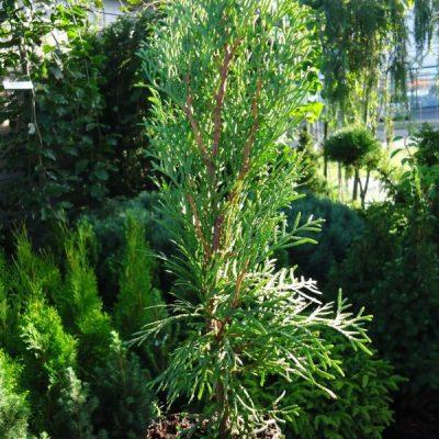Vakarinė tuja (Thuja occidentalis) 'Smaragd'
