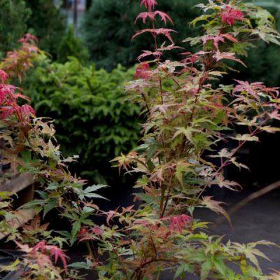 Plaštakinis klevas (Acer palmatum) 'Phoenix'