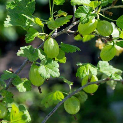 Paprastasis agrastas (Ribes uva-crispa) 'Mucurines'