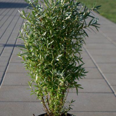 Dygliuotasis šaltalankis (Hippophae rhamnoides) 'Hikul'