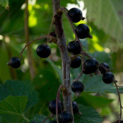 Juodasis serbentas (Ribes nigrum) 'Titania'