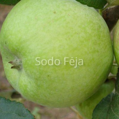 Obelis 'Konfetnoje' – Vasarinė obelų veislė