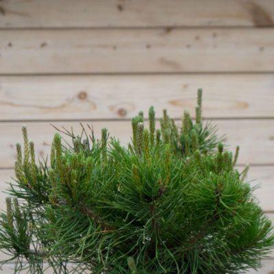 Kalninė pušis (Pinus mugo) 'Mops'