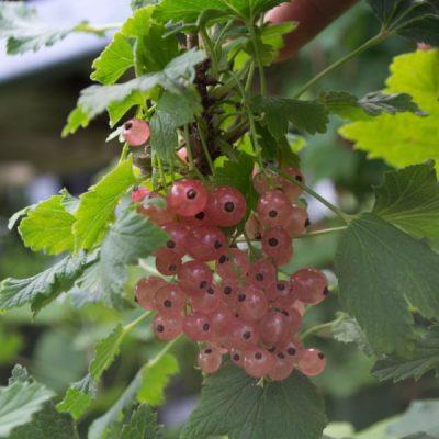 Raudonasis serbentas (Ribes rubrum) 'Ulubiona Lwowa'