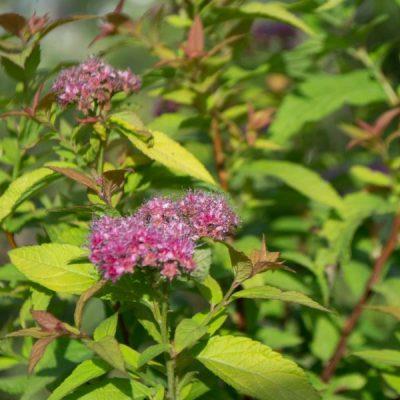 Japoninė lanksva (Spiraea japonica) 'Golden Princess'