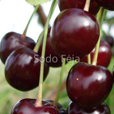 Vyšnios 'Vytėnų žvaigždė' – Savidulkė veislė