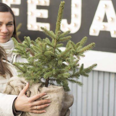 Dygioji eglė (Picea pungens) Sidabrinė mažos