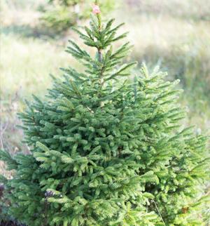 Kalėdinės eglutės priežiūra ir sodinimas po švenčių